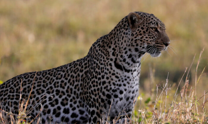 A leopard sits in the grass in the Maasai Mara National Reserve, Kenya, October 15, 2019. (REUTERS/Baz Ratner/File Photo)