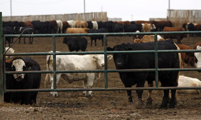Cattle look out form a feedlot in Brooks, Alta., on Oct. 10, 2012. (Jeff McIntosh/The Canadian Press)
