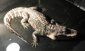 Fully Grown Alligator Discovered Living in Ohio Man's Basement Rescued to Reptile Sanctuary