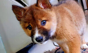 Rare Endangered Dingo Puppy Dropped by Eagle Into Lady's Backyard in Australia