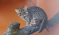 UK Animal Sanctuary Welcomes 'World's Smallest Feline' Rusty-Spotted Cat Cubs, and They Are Adorable