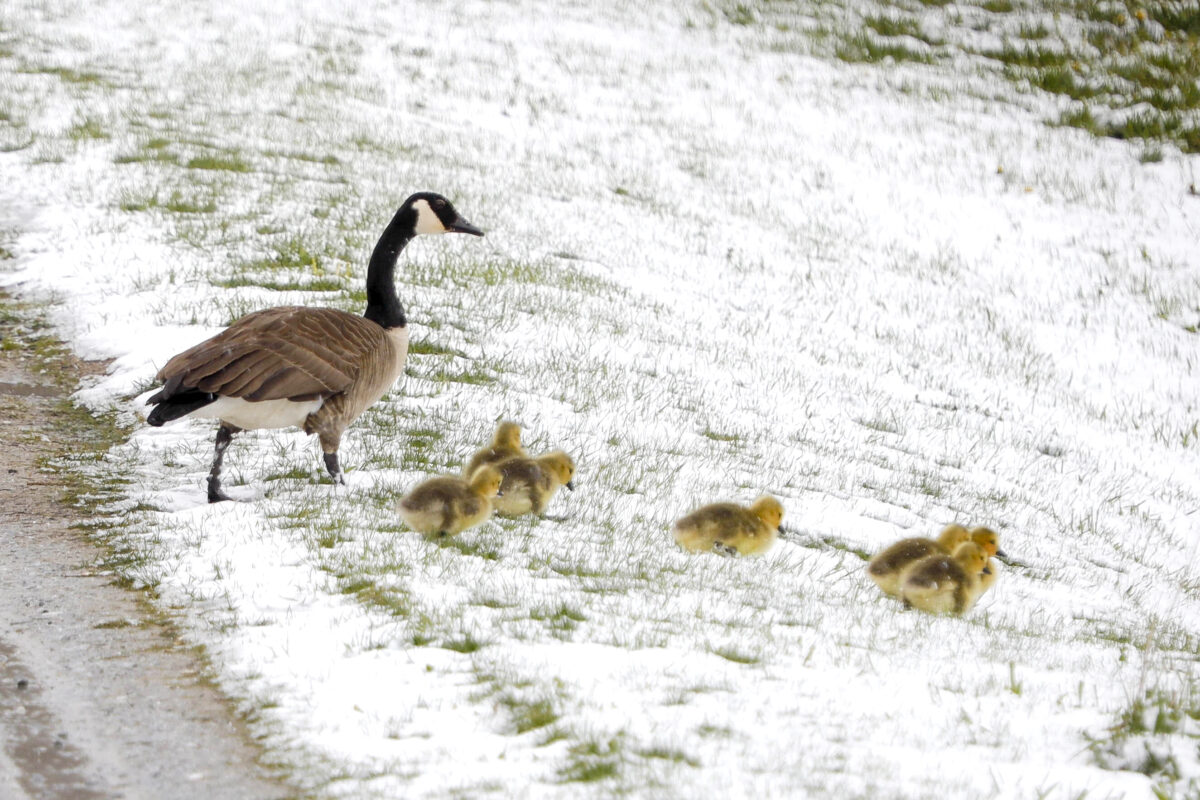 A family of Canada geese brave a snowy slope