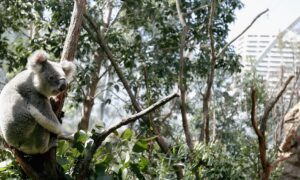 NSW Government Agrees to New Koala Policy