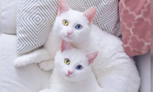 Cat Twin Sisters With Rare Eye Condition Have 2 Different-Color Eyes, Garner Fame on Instagram