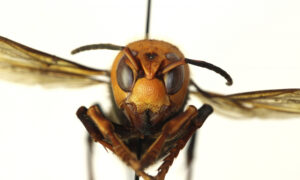 Third Asian Giant 'Murder' Hornet Found in Washington State
