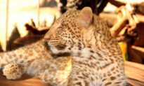 Researcher Photographs Extremely Rare 'Strawberry' Leopard With Motion-Sensing Camera in South Africa
