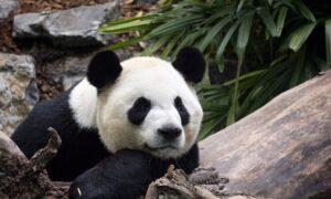 Bye Bye Bears: Calgary Zoo Returning Pandas to China Due to Bamboo Barriers