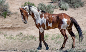 Meet Picasso, America's Most Famous Wild Horse That Will Stun You With His Beautiful Coat
