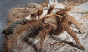 Man Discovers Puppy-Sized Tarantula While Walking in the Rainforest–and It's called the Goliath Birdeater