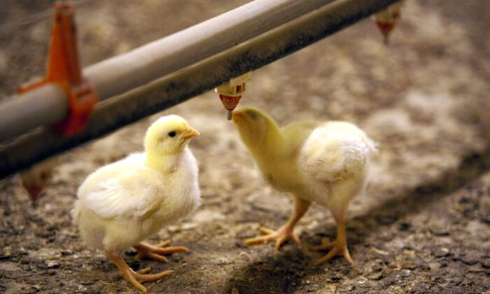 Baby chicks at Benoît Fontaine's poultry farm in Lac Champlain, Quebec. (Courtesy Benoît Fontaine)