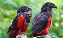 The Dracula Parrot Is Hauntingly Beautiful but Dwindling as Poachers Hunt for Their Feathers