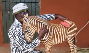 Wildlife Rescuers Wear Special Striped Coat to Become 'Mother' for Orphaned Baby Zebra