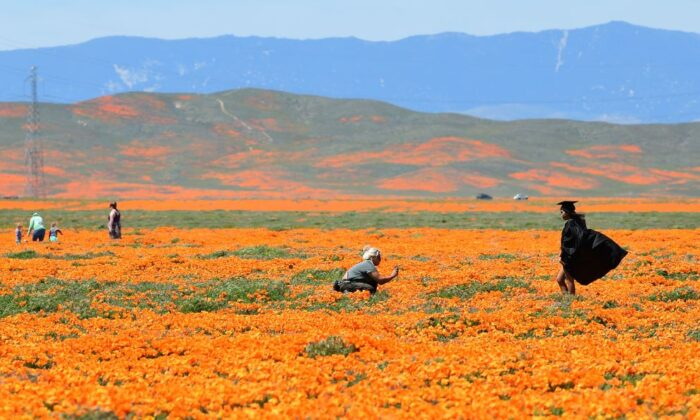 A girl poses in her graduation outfit in a poppy field near the Antelope Valley California Poppy Reserve in Lancaster, Calif., on April 16, 2020. (Photo by FREDERIC J. BROWN/AFP via Getty Images)