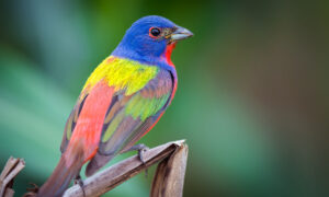 The 'Painted Bunting' Bird Is a Spectacular Work of Art by Nature, but Why Are They Dwindling?