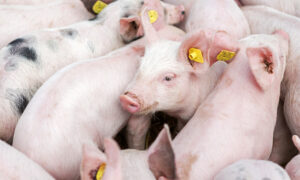 US Hog Farmers Face Euthanizing Millions of Pigs As Meat Plants Remain Non-Operational