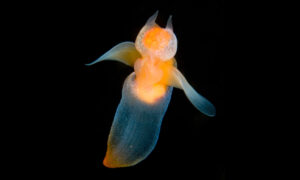 Marine Biologist Captures Rare Footage of Luminescent Sea Angels Swimming Under the Ice
