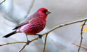 Exotic Rosefinches: Can You Tell These Different Pink-Colored Birds Apart?