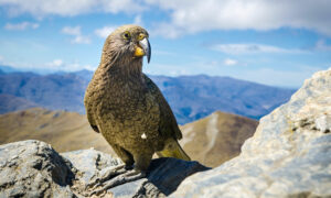 Meet the Kea, This Intelligent Bird Is the World's Only Alpine Parrot and Is Dwindling