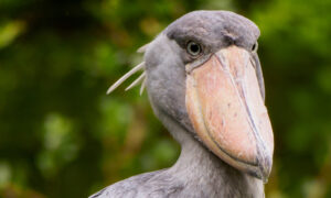 'The Most Terrifying Bird in the World': Shoebill Stork Stands Up to 5ft Tall, Hunts Like a Boss