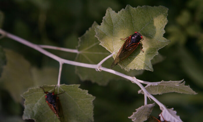 Cicadas cling to a tree in a forest preserve in Willow Springs, Ill., on June 11, 2007. The cicada is one of millions in the area that have emerged from the ground and taken to the trees during the past couple of weeks, part of a 17-year hatch cycle. (Scott Olson/Getty Images)