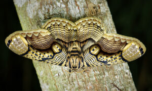 Photographer Captures Incredible Footage of Giant Brahmin Moth's 'Tiger Eye' Wings in Stunning Detail