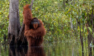 Photographer Snaps Rare & Hilarious Picture of Orangutan Taking a Bath in a River in Indonesia