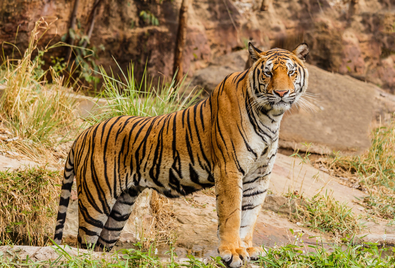 tiger-unsplash
