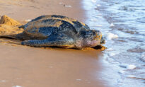 Leatherback Sea Turtles Nesting & Laying Eggs on the Rise With COVID-19 Beach Closures