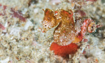 New Species of Pygmy Seahorse About the Size of a Grain of Rice Discovered in Indian Ocean