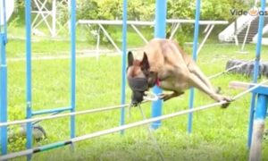 Police Dog in Blindfolds Walks Expertly on Tightrope