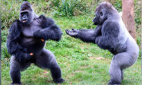 Hilarious Photos Show Two Big Gorillas in Heated Debate Over Food