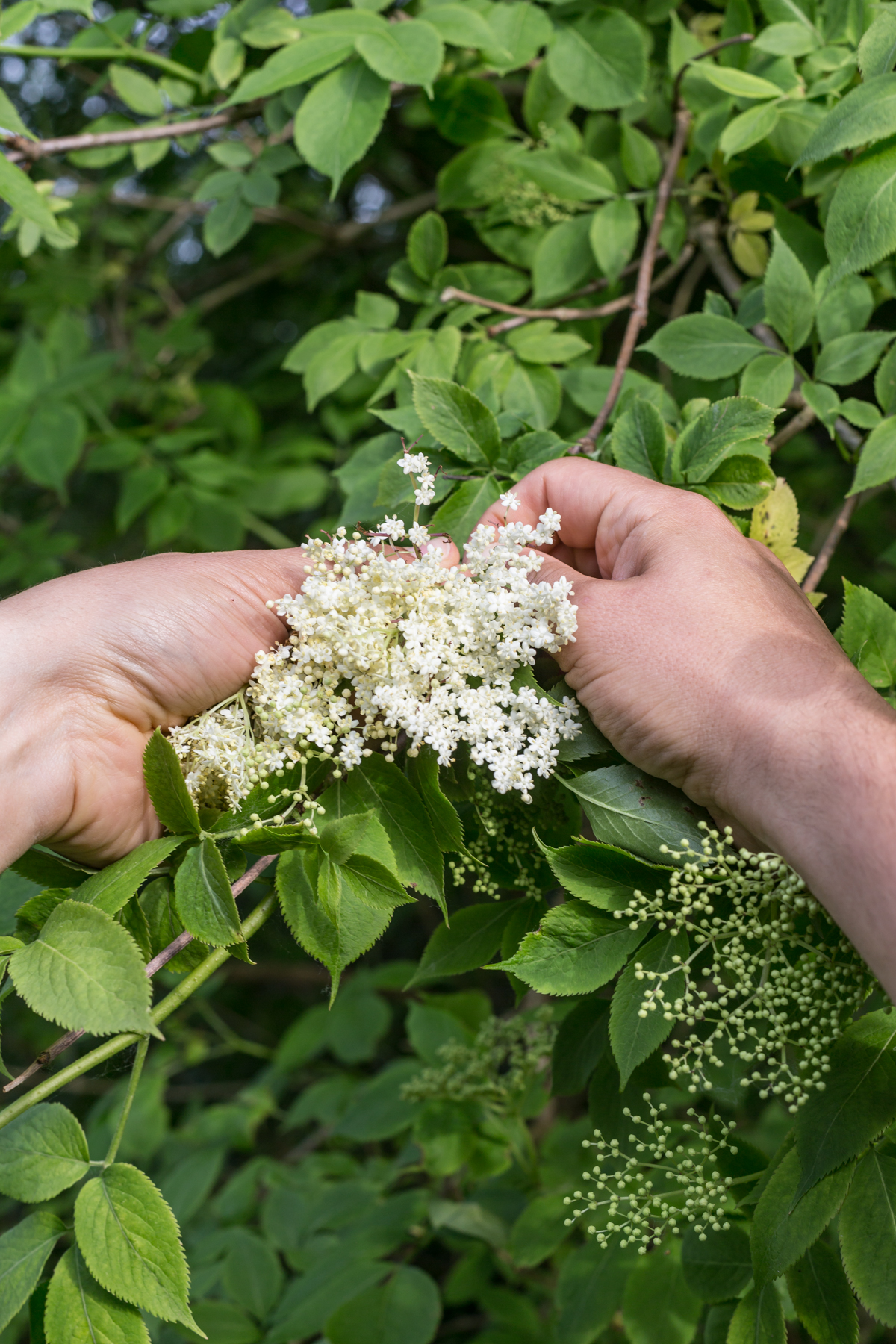 foraging Elderflowers-1