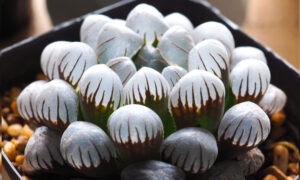 Haworthia: Glassy Succulent Plant Resembling Tiny Opals Can Brighten Up Your Interiors