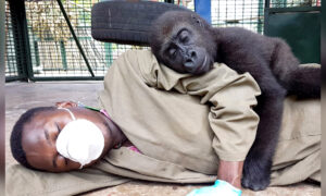 Orphaned Baby Gorilla Bonds With Human Carer After Being Rescued, and the Photos Are Adorable