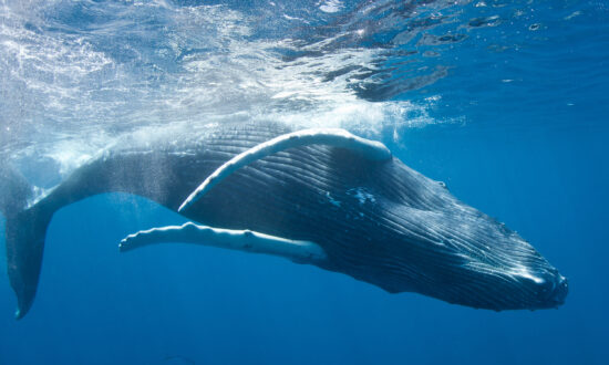 The Soul of the Sea: Whale Encounters in the Dominican Republic