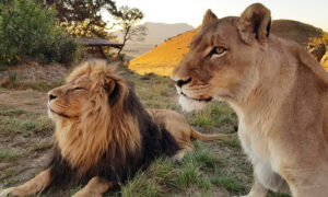 2 Lions Rescued From Misery in Captivity Fall Head Over Heels in Love at Sanctuary in South Africa