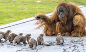 Orangutans Befriend Group of Otters at Zoo as Part of Enrichment Program, and the Photos Are Adorable