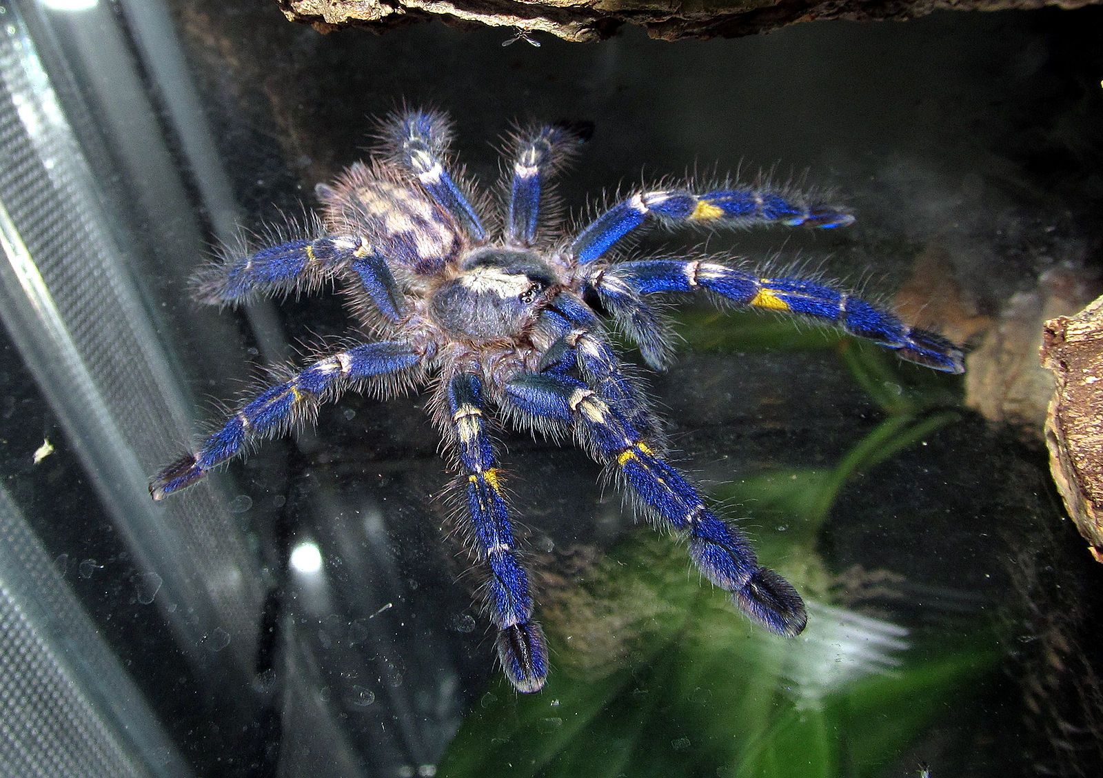 Electric-Blue Peacock Tarantula May Be One of the Most Eye-Catching Endangered Species