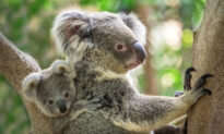 Advocates Want Mine Stopped and National Park Established After Thousands of Koalas Killed in Bushfires