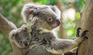First Koala Joey Born in Australian Reptile Park After Devastating Bushfires Signals Hope