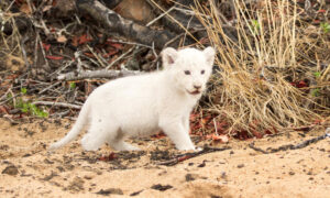 Lion Cub With White Fur Due to Rare Condition Sighted With Parents at Kruger Wildlife Reserve