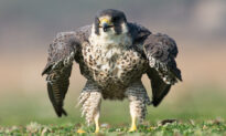 Photographer Snaps Rare Image of Peregrine Falcon Puffing Up Like the Incredible Hulk