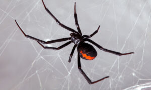 3 Boys Rushed to Hospital After Letting Black Widow Spider Bite Them to Become Like 'Spider-Man'