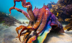 'Alien-Like' Cuttlefish's Skin Changes Color, Displays Stunning Rainbow Hues During Mating Season