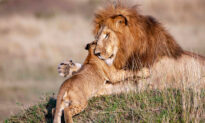 Heartwarming Photos of Lion Dad and Cub Embracing Reveal Gentle Side of King of the Savanna