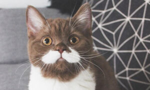 Kitten With Adorable White 'Mustache' and 'Tuxedo' Gains Fame on Instagram With 60,000 Followers
