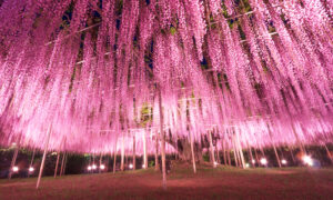 This Almost 150-Year-Old Great Wisteria in Japan Looks Like a 'Pink Cloud'