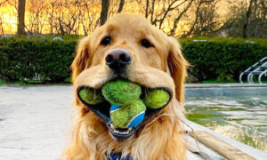 Golden Retriever Sets World Record for Most Tennis Balls in His Mouth According to Guinness