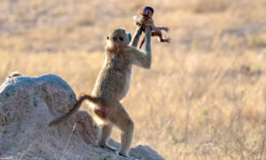 The Lion King Moment: Baboon Holds Up Baby Monkey Like Simba in the Disney Film
