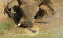 Photos Show Mother Hippo Fighting Off HUGE Elephant That Tries to Threaten Her Baby